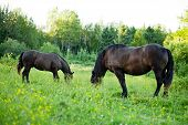 Side View of two Beautiful Strong Brown horses in long grass poster