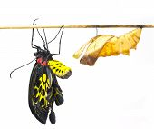 New born Common Birdwing butterfly emerge from cocoon in white background poster