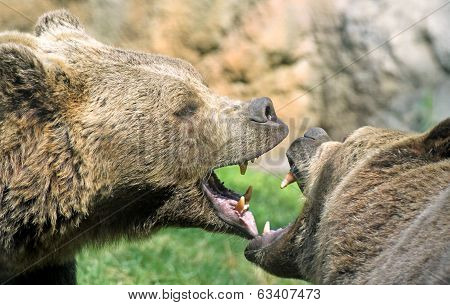 Bears Struggle With Mighty Bites And Blows The Mouth Open And The Teeth Sharp
