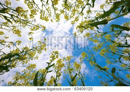 Rapeseed plants viewed from below