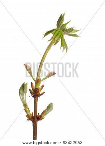 Fresh Buds  Chestnut