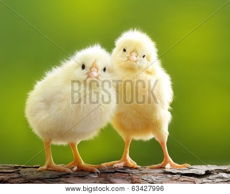 Cute little chicken over green natural background.