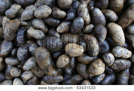 Pile of Swedish Black Potatoes Potatoes at the Farmers Market