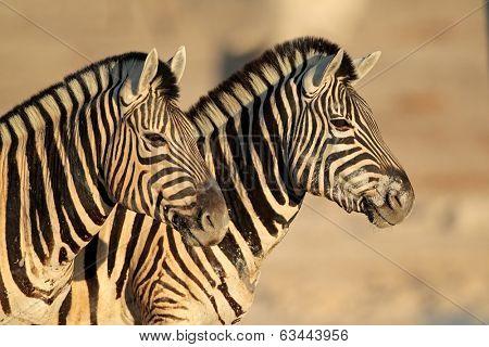 Portrait of two Plains (Burchells) Zebras (Equus burchelli), Etsosha National Park, Namibia