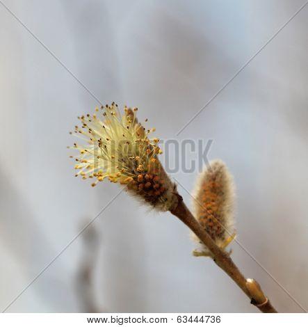 The Beginning Of Flowering Of A Willow Hoop Earrings