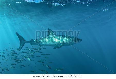 Great white underwater