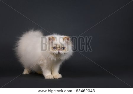 White Persian Kitten