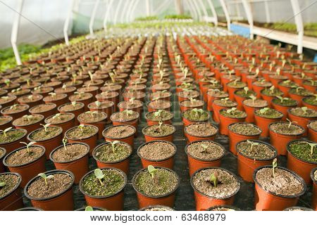 Greenhouse For Vegetables - Watermelon