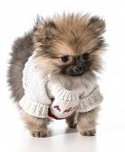 pomeranian wearing valentines day sweater poster