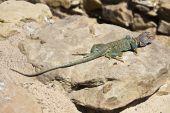 Lizard in Chaco Culture New Mexico. USA, North America. poster