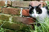 Alert cat, wall of brick, grass. Close up poster