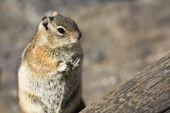 Chipmunk closeup - Rocky Mountain National Park Colorado. poster
