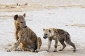 Spotted hyena (crocuta crocuta) and her whelp on the plains of Amboseli National reserve Kenya East Africa poster