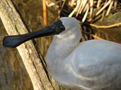 Royal Spoonbill close up poster