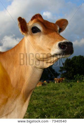 Jersey Cow in Kikuyu Field