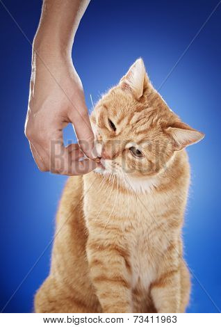 Woman giving her ginger cat a meaty treat.