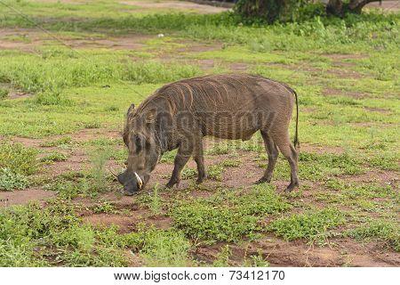 Common Warthog In The Savannah