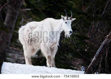 Mountain Goat At Glacier National Park