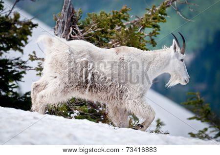 Mountain Goat Threads His Way Through The Snow