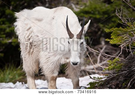 Mountain Goat Looks Down