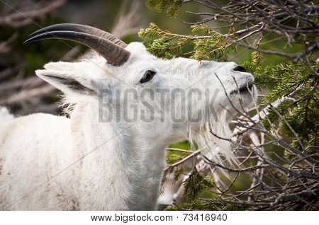 Mountain Goat Reaching For The Spring Snack