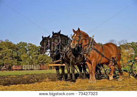Team of horses plowing