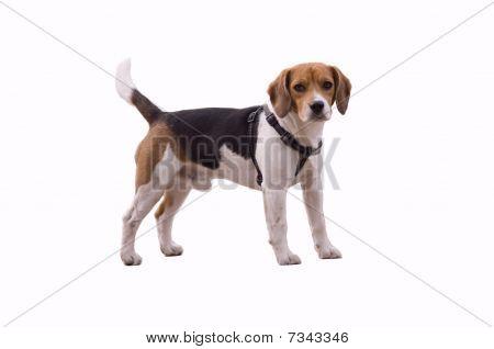 Adorable Beagle
