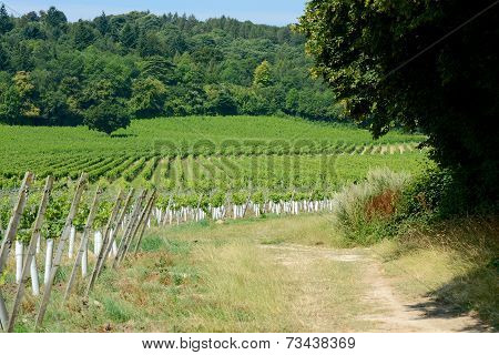 English Vineyard In Surrey