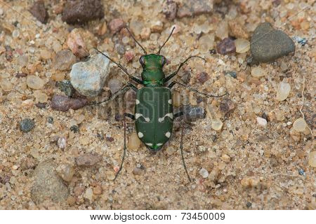 Northern Barrens Tiger Beetle