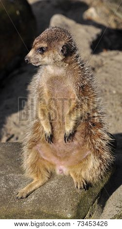 Sitting meercat