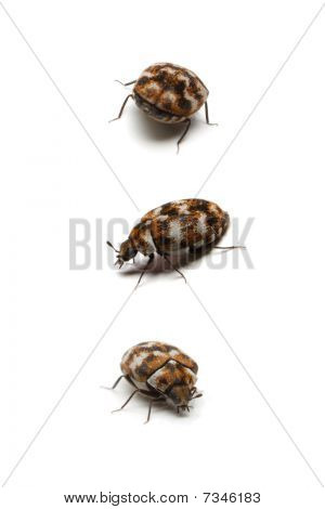 Three carpet beetles, isolated.