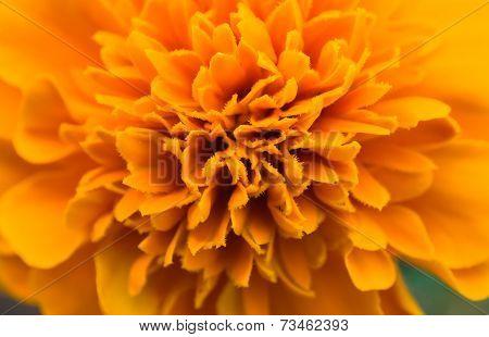 African Marigold Flower Orange