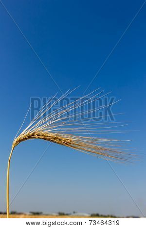 a corn field with barley ready for harvest. symbol photo for agriculture and healthy eating.