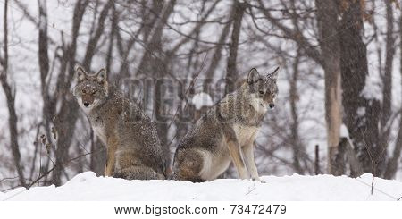 A pair of Coyotes sitting, waiting