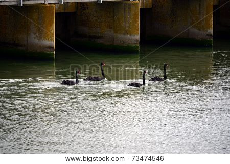 Black Swans Coorong Barrages