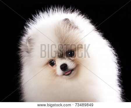 ittle spitz puppy closeup