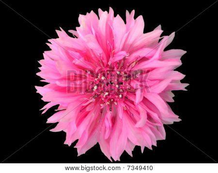 Pink Cornflower On Black