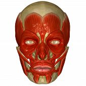 The facial muscles are a group of striated skeletal muscles innervated by the facial nerve (cranial nerve VII) that, among other things, control facial expression. These muscles are also called mimetic muscles. poster