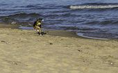 A terrier fetching a tennis ball on the beach in the summer poster