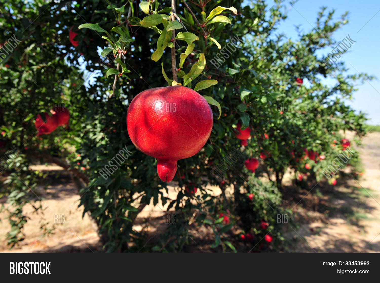 Pomegranate Orchard Image Photo Free Trial Bigstock
