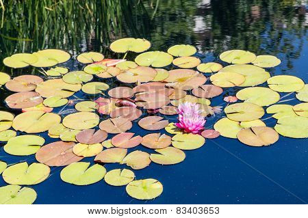 Brilliant Lillies On Pads In Pond