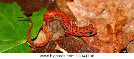 Cave Salamander (Eurycea lucifuga)