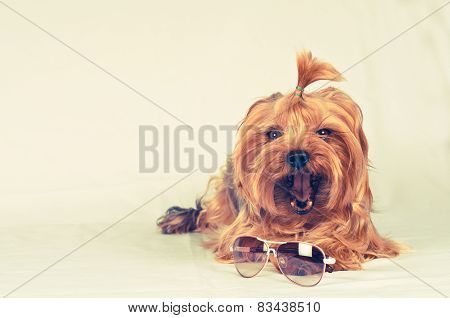 Cute Yorkshire Terrier Yawning