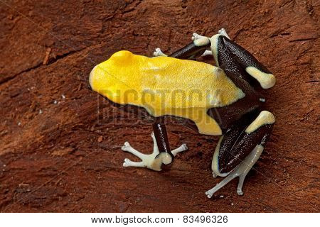 Yellow Poison Arrow Frog