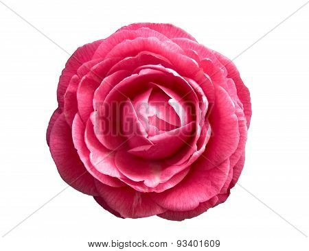 dark pink Camellia flower isolated on white