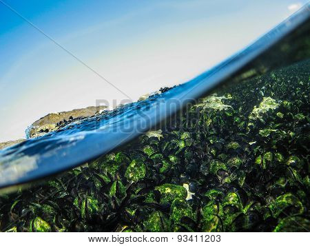 Underwater Shot Of Mussels Mitilus Galloprovincialis