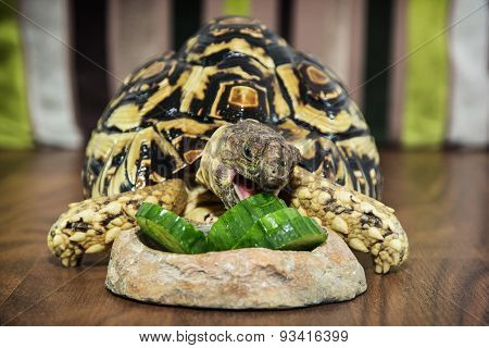 Leopard Tortoise Eating Cucumber
