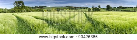 Panorama Of A Wheat Field In Spring