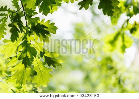 Natural Background - Green Oak Leaves In Woods