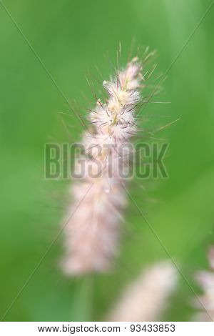 Poaceae Grass Flower.